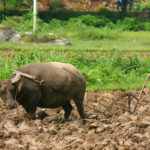 Wasserbüffel beim Pflug