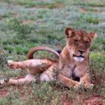 Löwe in Uganda