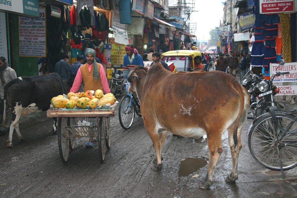 Kühe in Indien