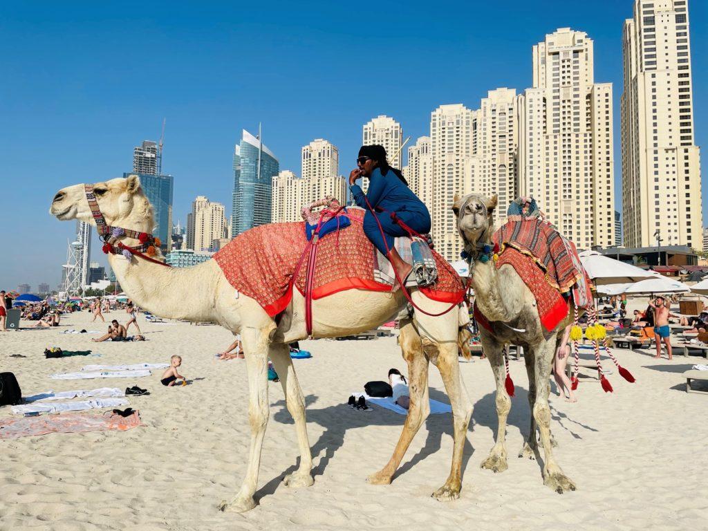 Kamela am Strand in Dubai Marina