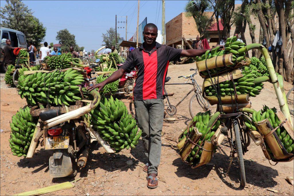 Bananen-Ernte
