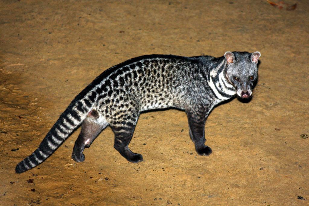 Civet Katze